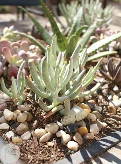 succulentblog5