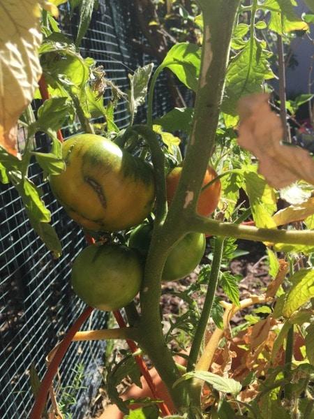 tomatoblog